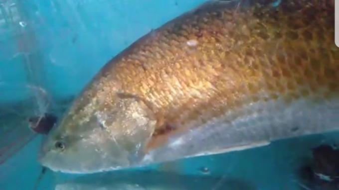 Thừa Thiên Huế: Bắt được cá có màu vàng óng nghi là cá sủ vàng quý hiếm Ảnh 2