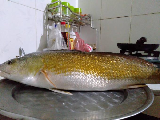 Thừa Thiên Huế: Bắt được cá có màu vàng óng nghi là cá sủ vàng quý hiếm Ảnh 1