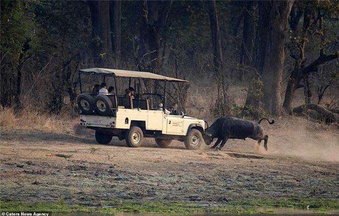 Bị theo dõi, trâu rừng hung hăng tấn công xe chở du khách Ảnh 3