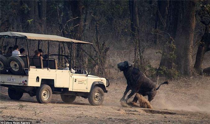 Bị theo dõi, trâu rừng hung hăng tấn công xe chở du khách Ảnh 2