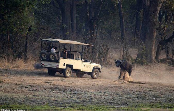 Bị theo dõi, trâu rừng hung hăng tấn công xe chở du khách Ảnh 8
