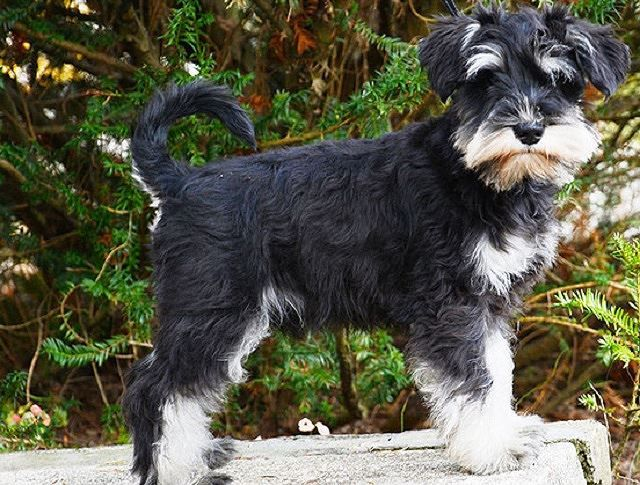 Chó sục Đức, giống chó đặc biệt trung thành Ảnh 1