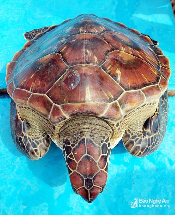 Ngư dân Nghệ An bắt được rùa biển quý hiếm nặng 8 kg ảnh 1