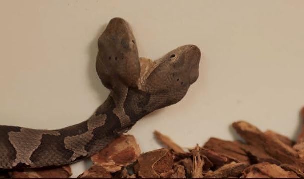 Phát hiện rắn hai đầu cực hiếm ở Mỹ Ảnh 2