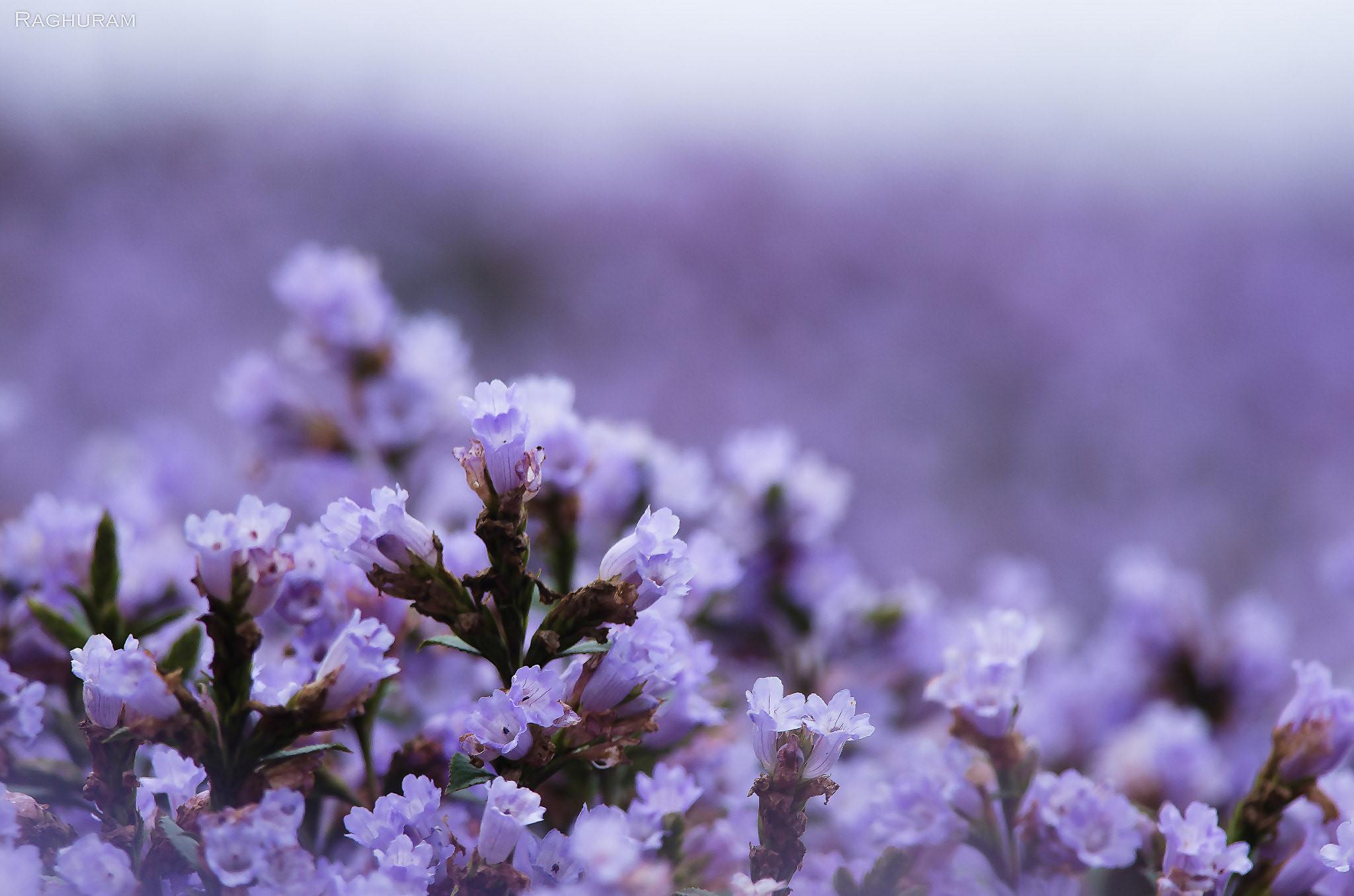 Thung lũng ngập màu tím biếc của sắc hoa 12 năm nở một lần Ảnh 5