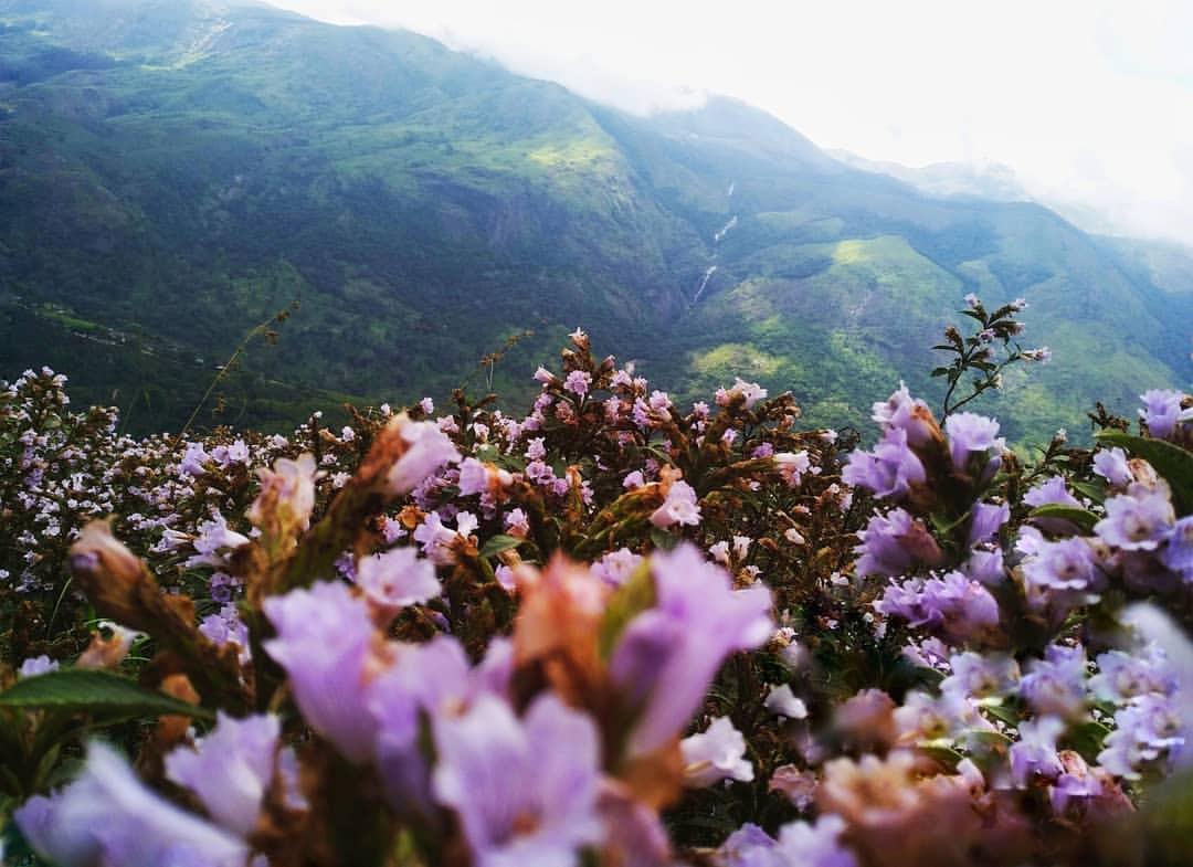 Thung lũng ngập màu tím biếc của sắc hoa 12 năm nở một lần Ảnh 6