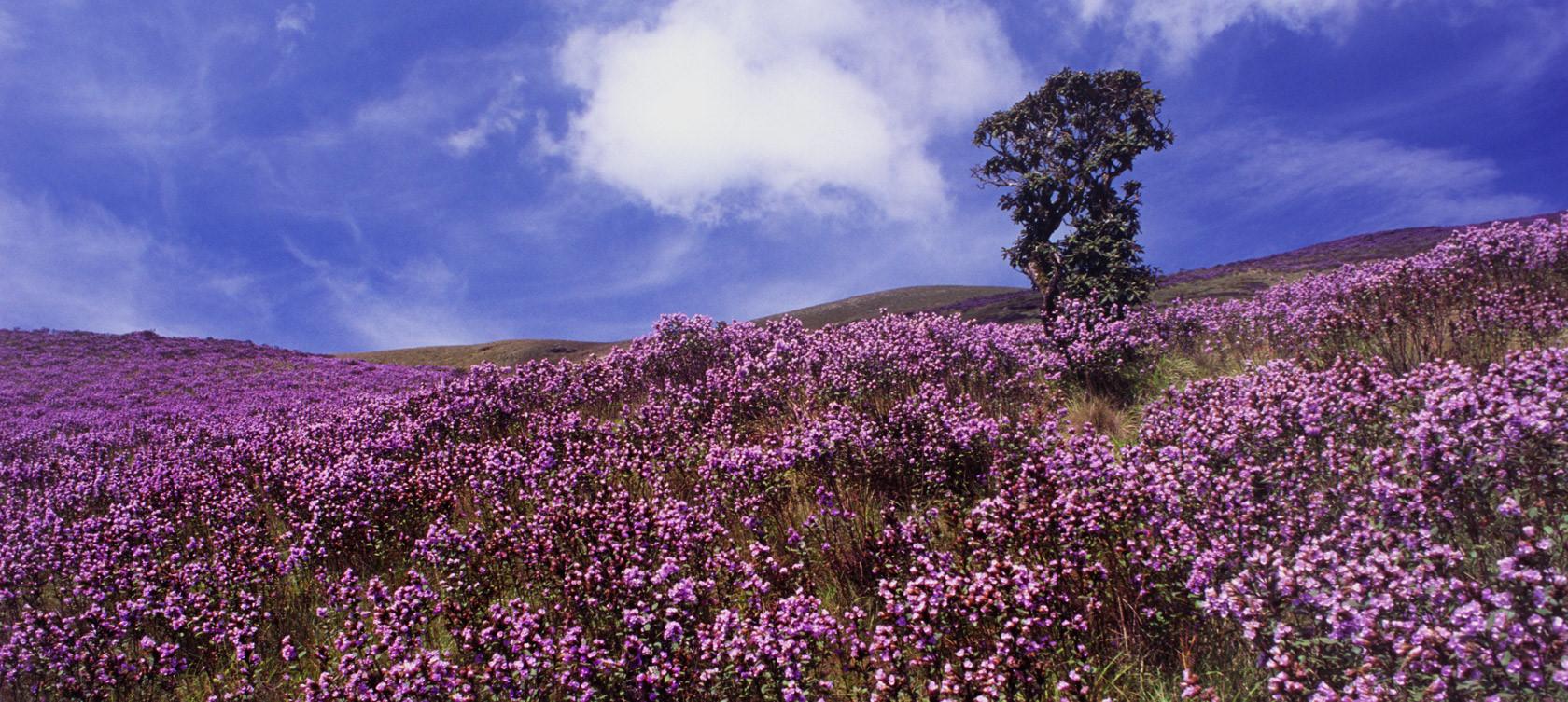 Thung lũng ngập màu tím biếc của sắc hoa 12 năm nở một lần Ảnh 9