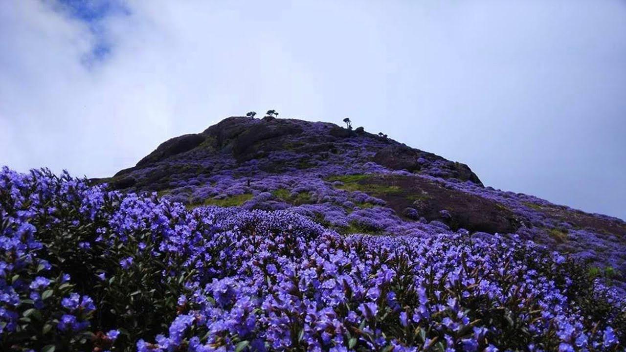 Thung lũng ngập màu tím biếc của sắc hoa 12 năm nở một lần Ảnh 2