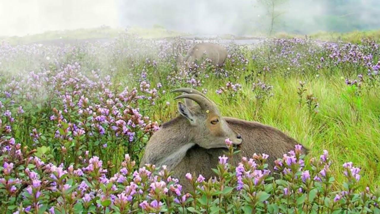 Thung lũng ngập màu tím biếc của sắc hoa 12 năm nở một lần Ảnh 8