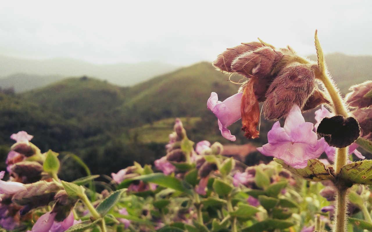 Thung lũng ngập màu tím biếc của sắc hoa 12 năm nở một lần Ảnh 4