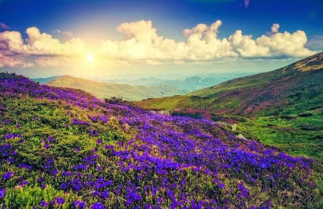 Thung lũng ngập màu tím biếc của sắc hoa 12 năm nở một lần Ảnh 1