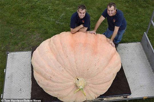 Cận cảnh quả bí ngô nặng 1103 kg Ảnh 3