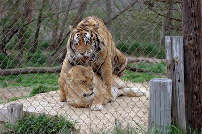Thẹn đỏ mặt cảnh hổ và sư tử làm 'chuyện ấy' với nhau Ảnh 4