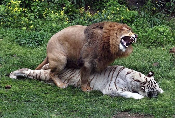 Thẹn đỏ mặt cảnh hổ và sư tử làm 'chuyện ấy' với nhau Ảnh 1