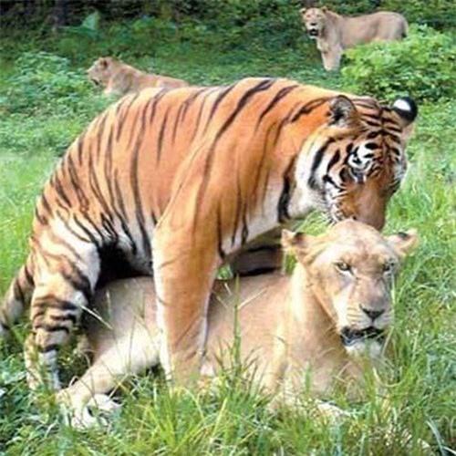 Thẹn đỏ mặt cảnh hổ và sư tử làm 'chuyện ấy' với nhau Ảnh 8