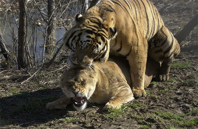 Thẹn đỏ mặt cảnh hổ và sư tử làm 'chuyện ấy' với nhau Ảnh 3