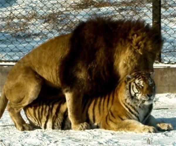 Thẹn đỏ mặt cảnh hổ và sư tử làm 'chuyện ấy' với nhau Ảnh 5