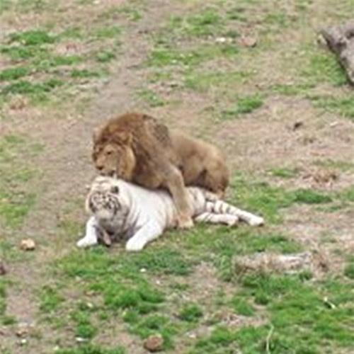 Thẹn đỏ mặt cảnh hổ và sư tử làm 'chuyện ấy' với nhau Ảnh 7