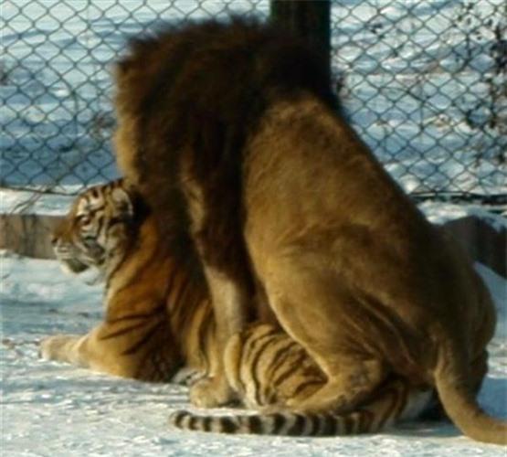Thẹn đỏ mặt cảnh hổ và sư tử làm 'chuyện ấy' với nhau Ảnh 6