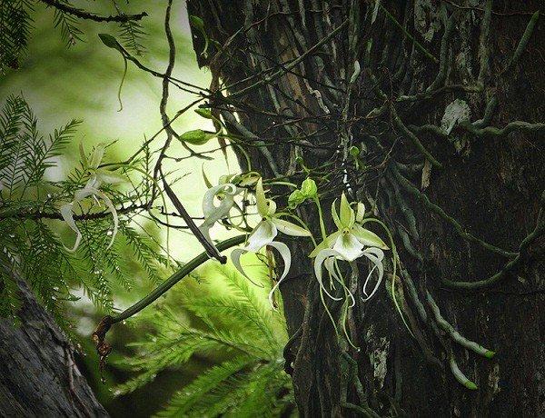 Phong lan ma - loài hoa đắt đỏ nhưng cây lại không có một chiếc lá nào Ảnh 5