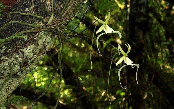 Phong lan ma - loài hoa đắt đỏ nhưng cây lại không có một chiếc lá nào Ảnh 4