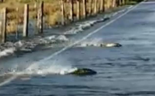 Clip: Tài xế kinh ngạc chứng kiến cá hồi bơi tung tăng trên đường cao tốc ảnh 1