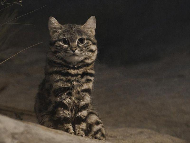 Loài mèo nhỏ nhắn nguy hiểm nhất thế giới Ảnh 1