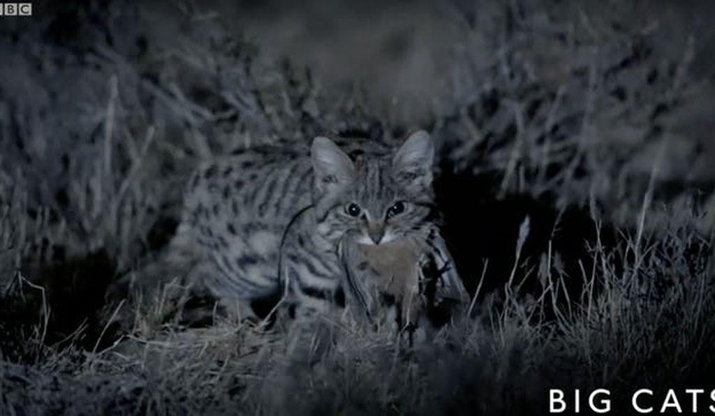 Loài mèo nhỏ nhắn nguy hiểm nhất thế giới Ảnh 2