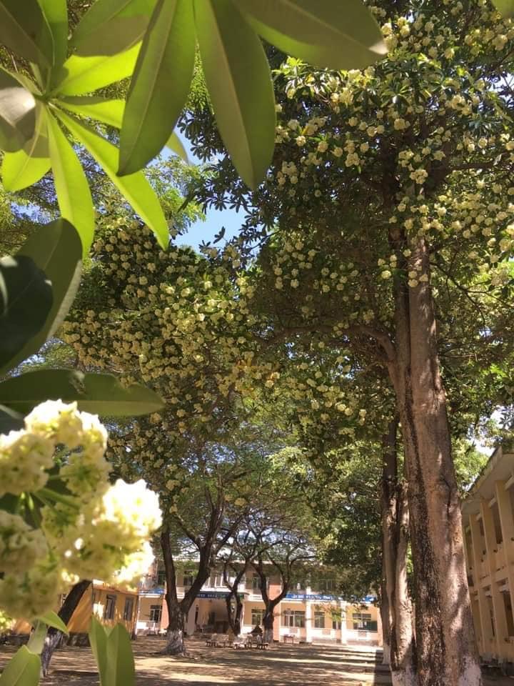 Một khoảnh sân trường trồng tới cả chục cây hoa sữa, học sinh thi nhau 'đăng đàn kỳ thị' vì mùi quá nồng nặc Ảnh 1