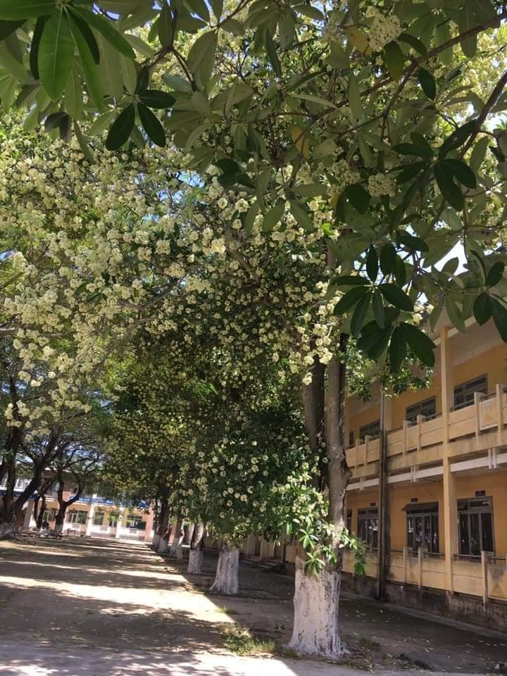 Một khoảnh sân trường trồng tới cả chục cây hoa sữa, học sinh thi nhau 'đăng đàn kỳ thị' vì mùi quá nồng nặc Ảnh 3