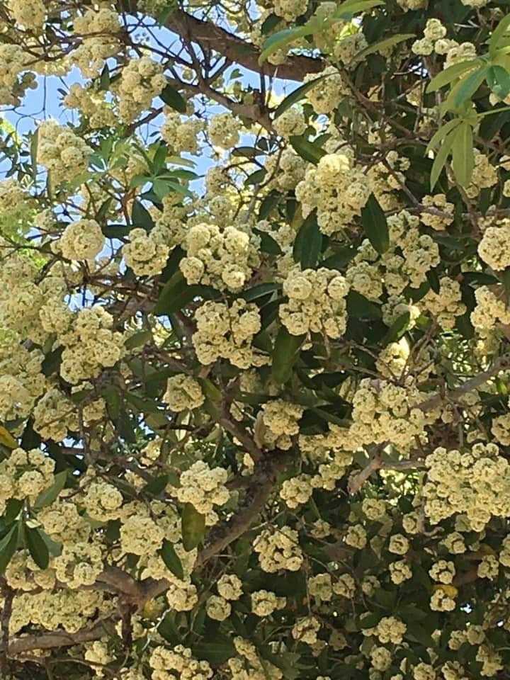 Một khoảnh sân trường trồng tới cả chục cây hoa sữa, học sinh thi nhau 'đăng đàn kỳ thị' vì mùi quá nồng nặc Ảnh 2
