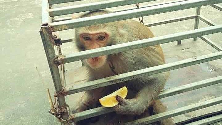 Giao nộp khỉ vàng quý hiếm để thả về tự nhiên Ảnh 1