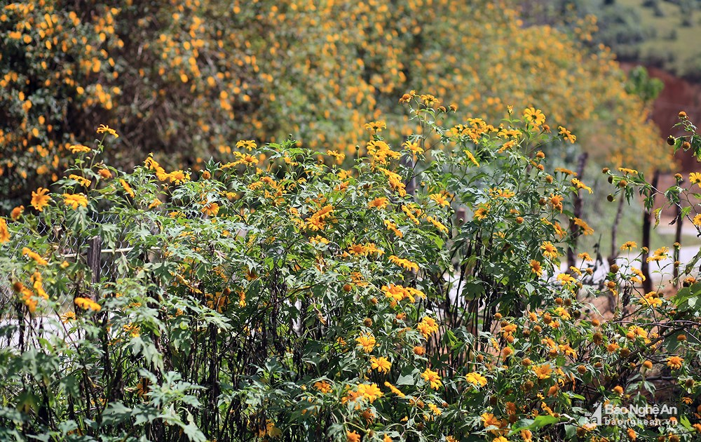 Đến Nghệ An mùa đông ngắm những 'thiên đường' hoa Ảnh 6