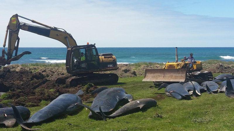 Hơn 50 cá voi chết do mắc cạn tại New Zealand Ảnh 1