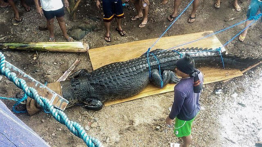 Bắt cá sấu nặng nửa tấn nghi ăn thịt người Ảnh 2