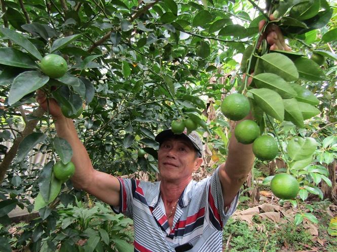 Làm giàu ở nông thôn: Trồng chanh trứng ngỗng, thu tiền tỷ Ảnh 1