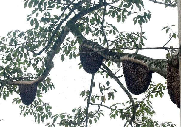 Chiêm ngưỡng cây gạo có hơn 60 tổ ong ở Nghệ An Ảnh 3