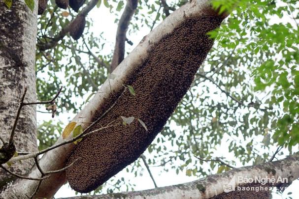 Chiêm ngưỡng cây gạo có hơn 60 tổ ong ở Nghệ An Ảnh 4