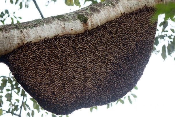 Chiêm ngưỡng cây gạo có hơn 60 tổ ong ở Nghệ An Ảnh 2