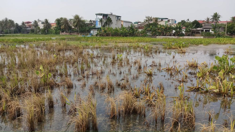 Sự cố dầu tràn ở Thanh Hóa: Cây héo rũ, cá tôm chết nổi đầy đồng Ảnh 1
