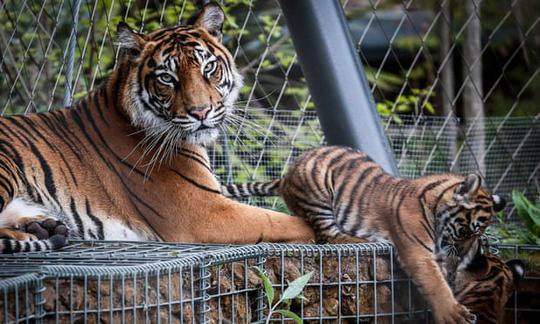 Hổ Sumatra đực giết con cái ngay lần hẹn hò đầu tiên Ảnh 2