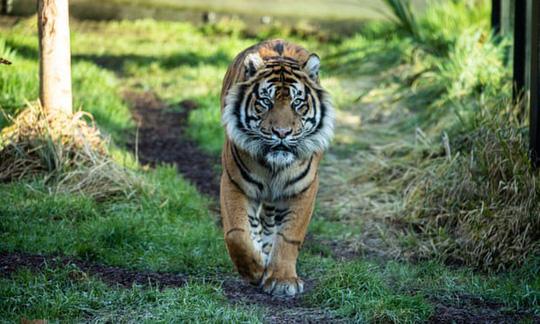 Hổ Sumatra đực giết con cái ngay lần hẹn hò đầu tiên Ảnh 1
