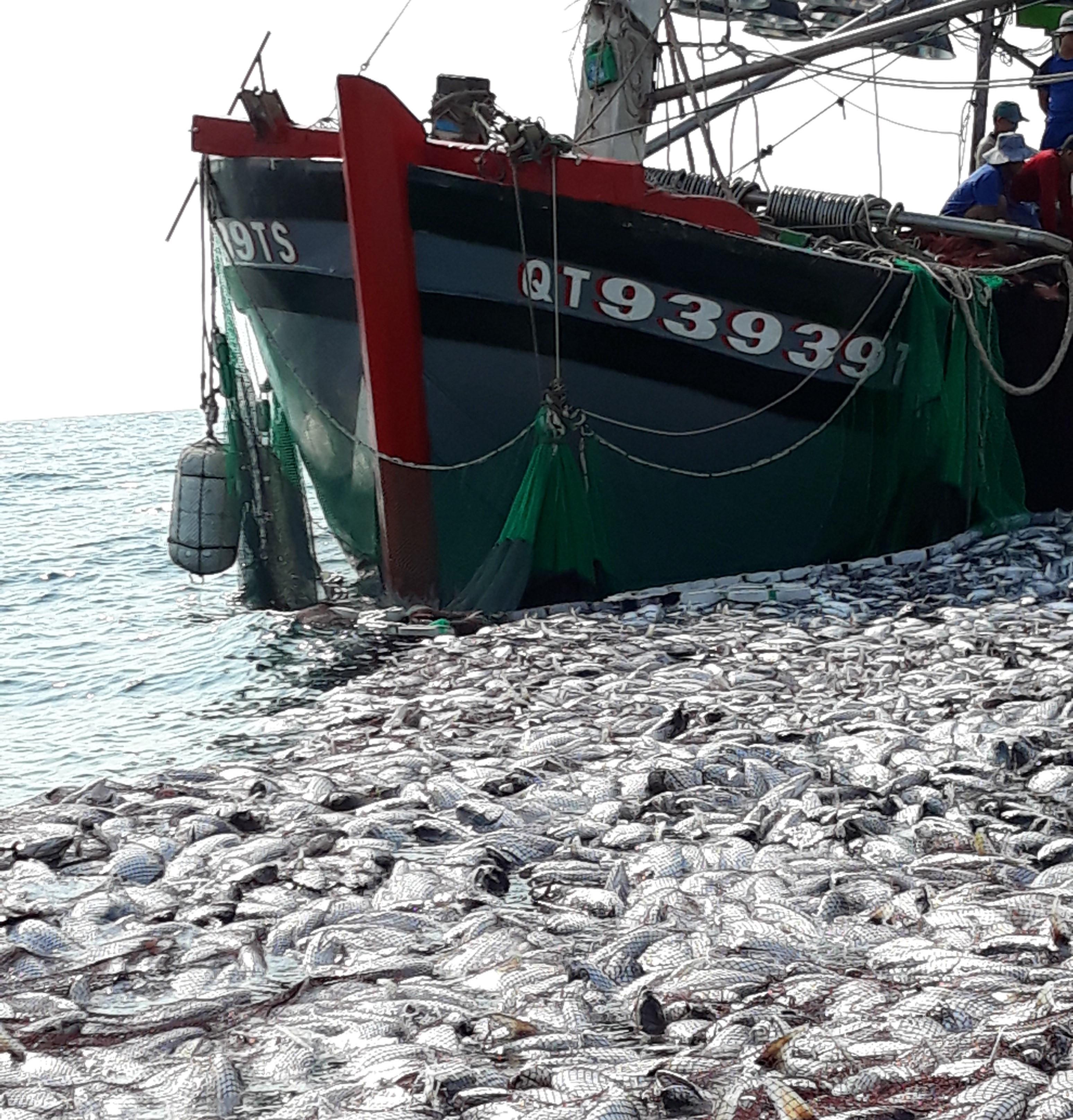 Cận cảnh mẻ cá 120 tấn trên biển, cả chục ngàn con chờ đánh bắt Ảnh 4