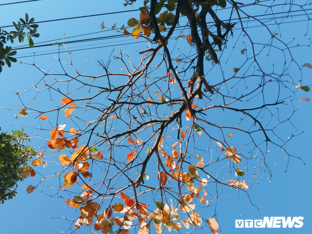 Đẹp ngỡ ngàng mùa bàng thay lá ở Đà Nẵng Ảnh 8