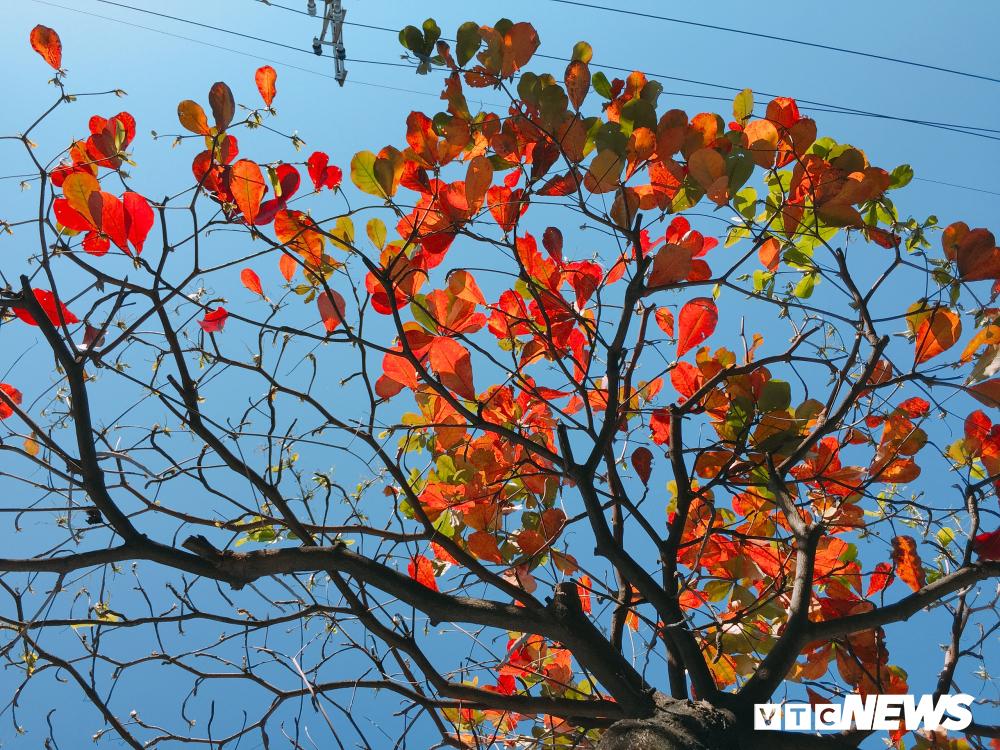 Đẹp ngỡ ngàng mùa bàng thay lá ở Đà Nẵng Ảnh 6