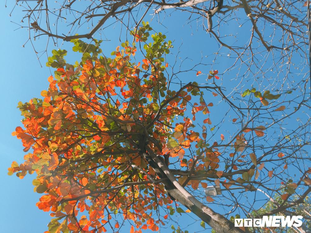 Đẹp ngỡ ngàng mùa bàng thay lá ở Đà Nẵng Ảnh 5