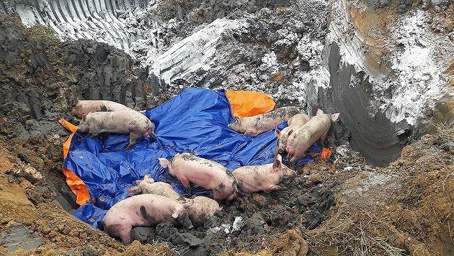 Lần đầu tiên, phát hiện 2 ổ dịch tả lợn châu Phi tại Việt Nam Ảnh 1