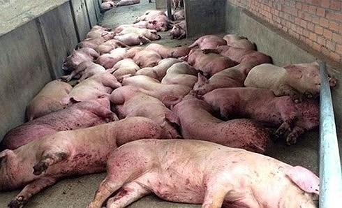Cách phân biệt thịt lợn bị bệnh tả châu Phi và chọn thịt lợn an toàn Ảnh 1