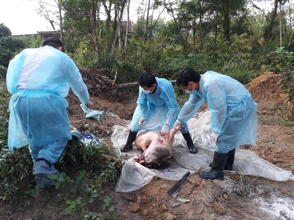 TT-Huế: Đàn lợn rừng tại khu nghỉ dưỡng nhiễm dịch tả lợn châu Phi Ảnh 2