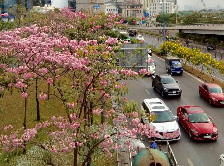 Nghĩ từ mùa hoa kèn hồng Ảnh 1